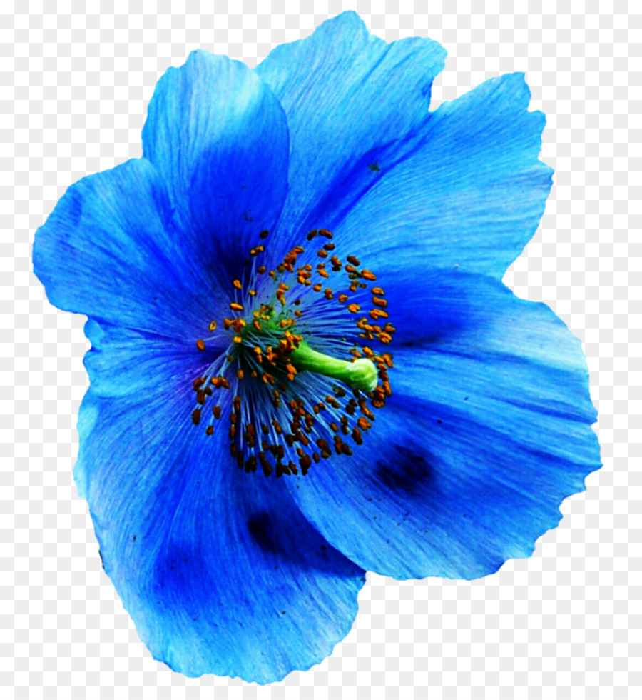 Papaver Nudicaule Deviantart Blue Poppy Clip Art Poppy Png
