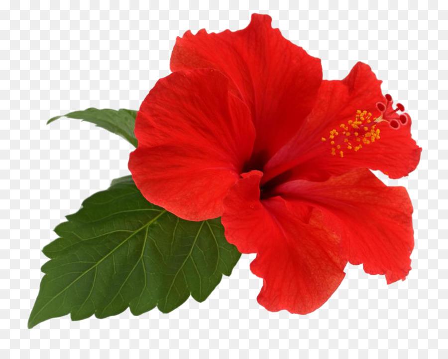 Shoeblackplant Flower Tea Leaf Hawaii Flower Png Download 1000