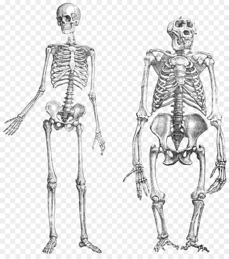 Chimpanzee Gorilla Primate Neandertal Human skeleton - doodle png ...