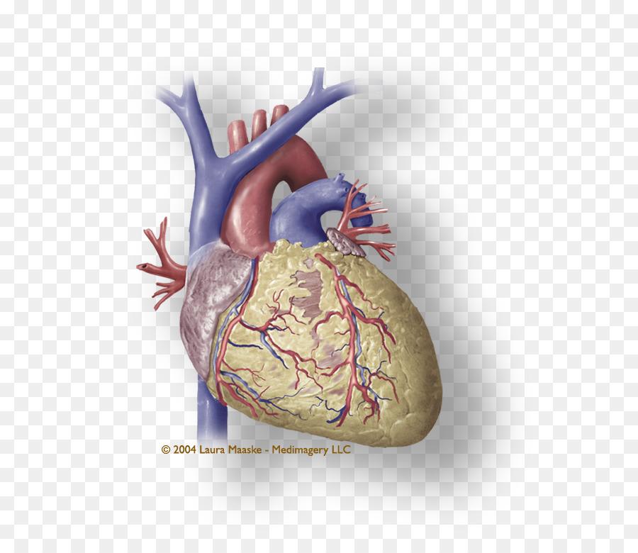 Heart Coronary Circulation Medical Illustration Cardiac Muscle