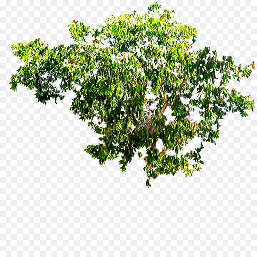 Tree Canopy Forest Crown Tree Top Png Download 894894 Free