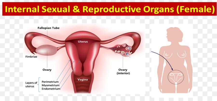 Ovario sistema reproductivo Femenino Progesterona Estrógeno ...