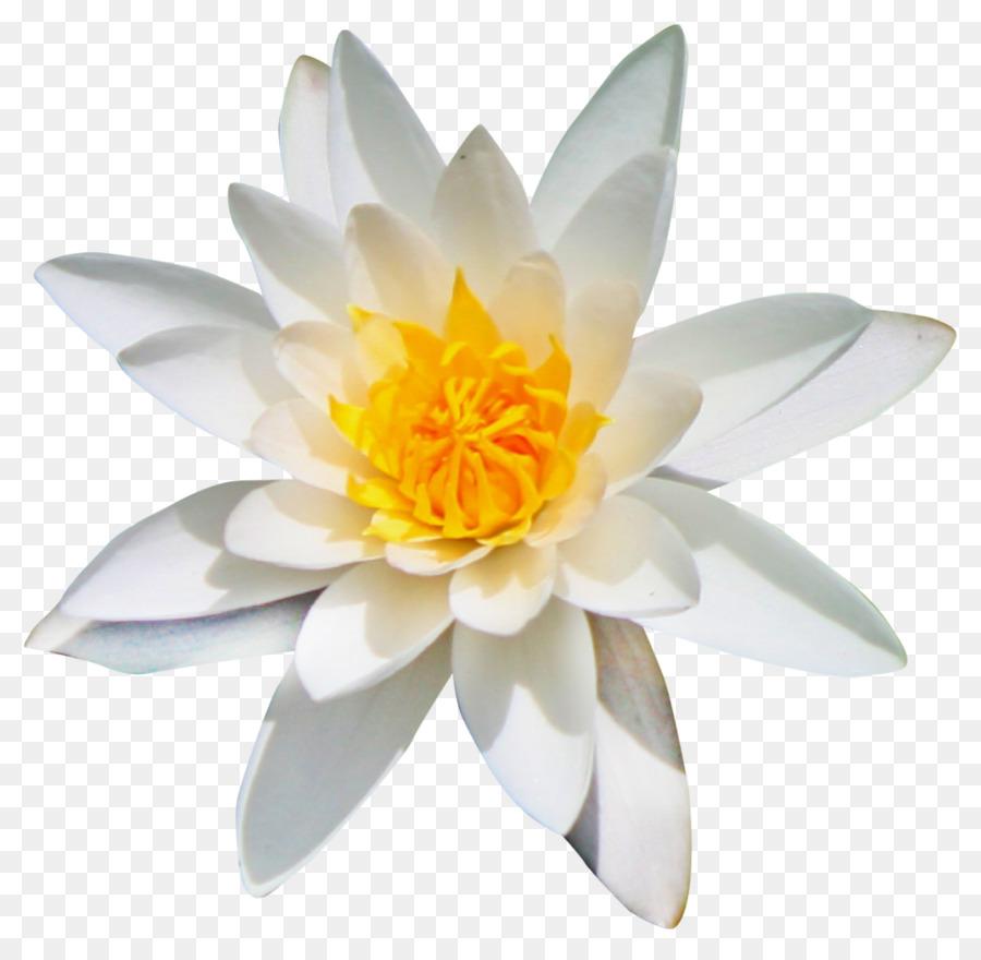 Flower Kolubara Clip Art Lotus Flower Png Download 10541024