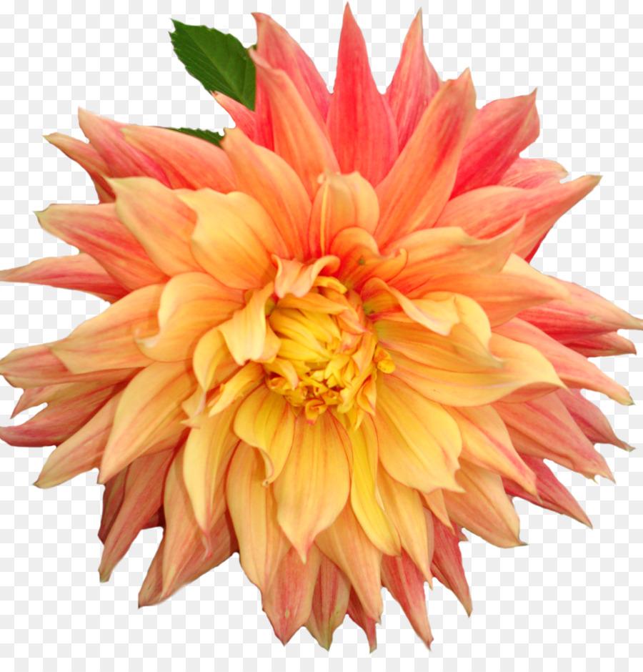 Dahlia Flower Clip Art Dahlia Png Download 24482511 Free