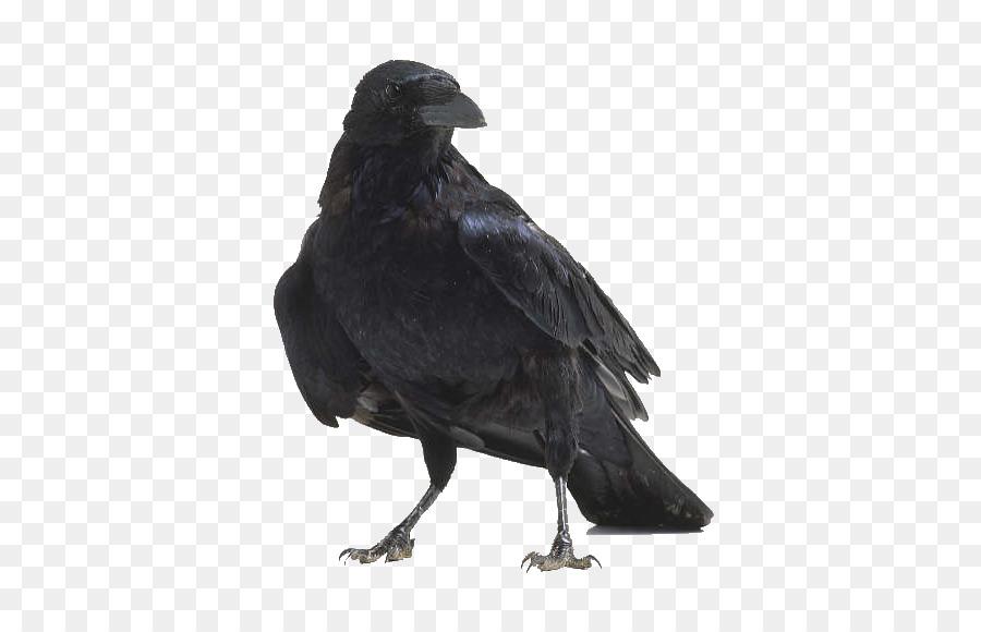 American cuervo Pájaro anatomía Raven - cuervo png dibujo ...