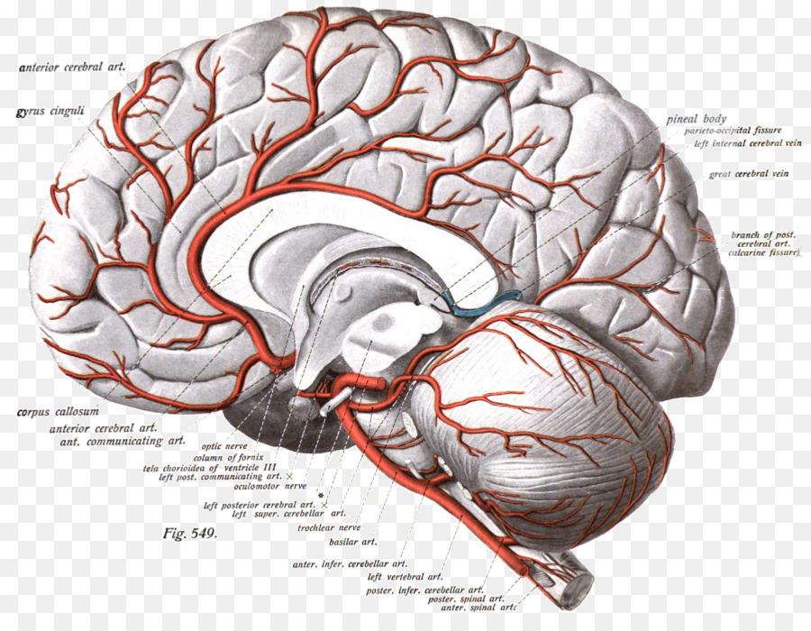 Anterior cerebral artery Cerebral arteries Brain Internal carotid ...