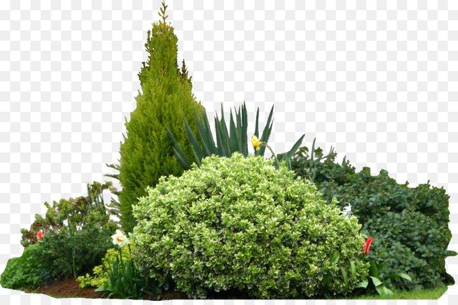 Conifer Tree png download - 1472*968 - Free Transparent
