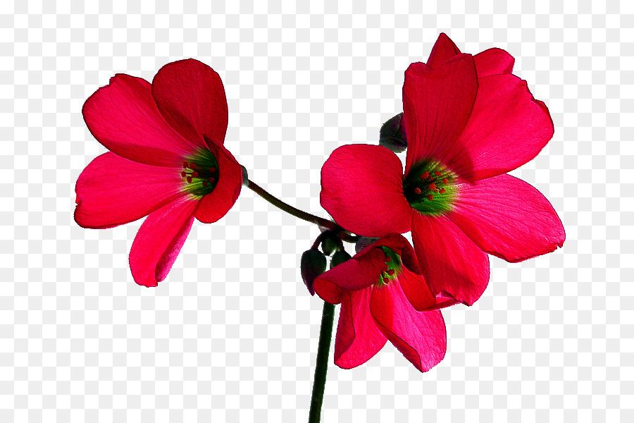 La Fleur Rose Papier Peint De Bureau Rouge Fleur Tropicale