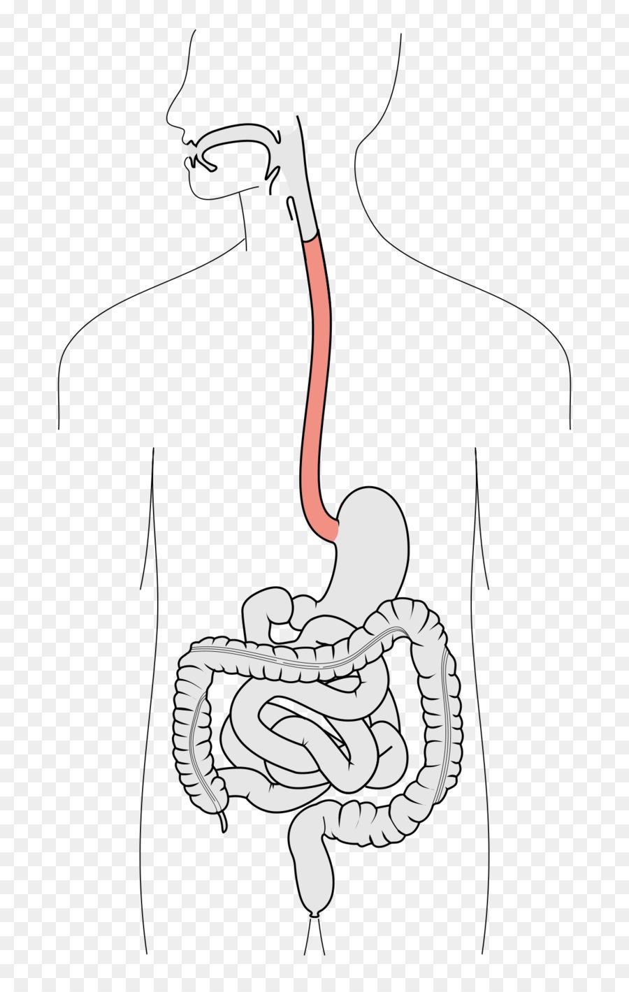 Barrett\'s esophagus Swallowing Function Human digestive system ...