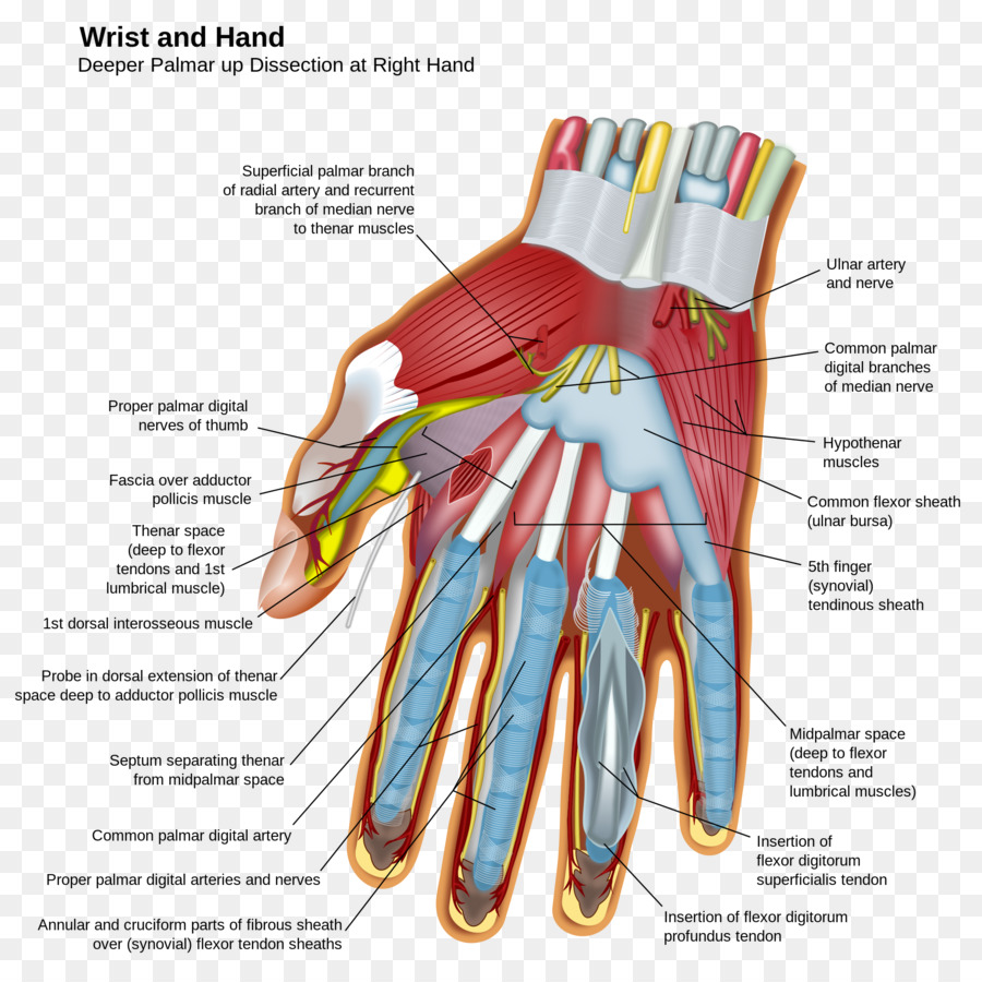 Hand Wrist Carpal bones Anatomy Finger - anatomy png download - 2000 ...