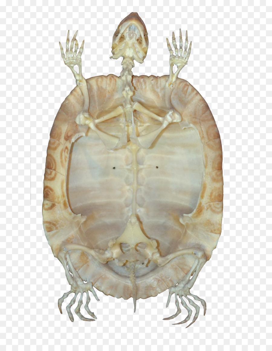 La Tortuga De Reptiles Esqueleto De La Tortuga - Esqueleto Formatos ...