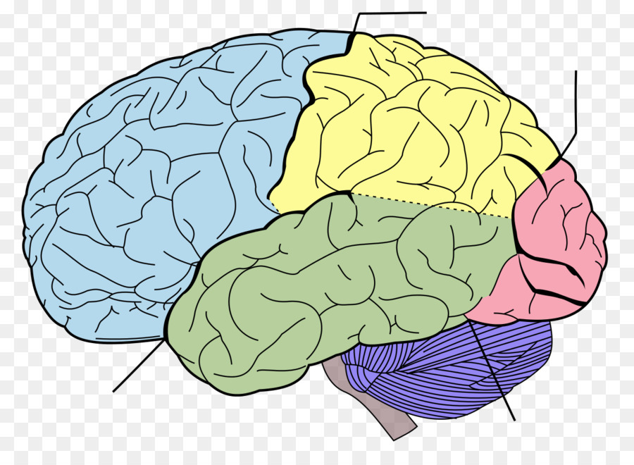Lobes of the brain Frontal lobe Parietal lobe Temporal lobe ...
