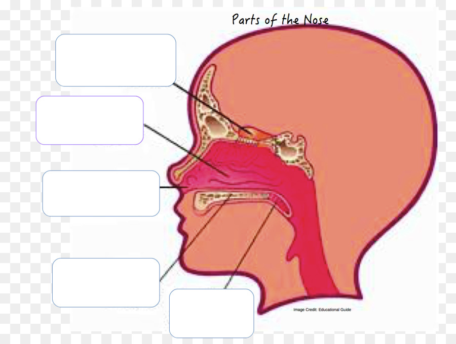 Anatomy of the human nose Nasal cavity Nostril - nose png download ...