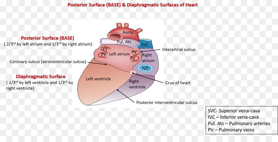 Corazón Ventrículo Anatomía de la Aurícula surco Coronario ...