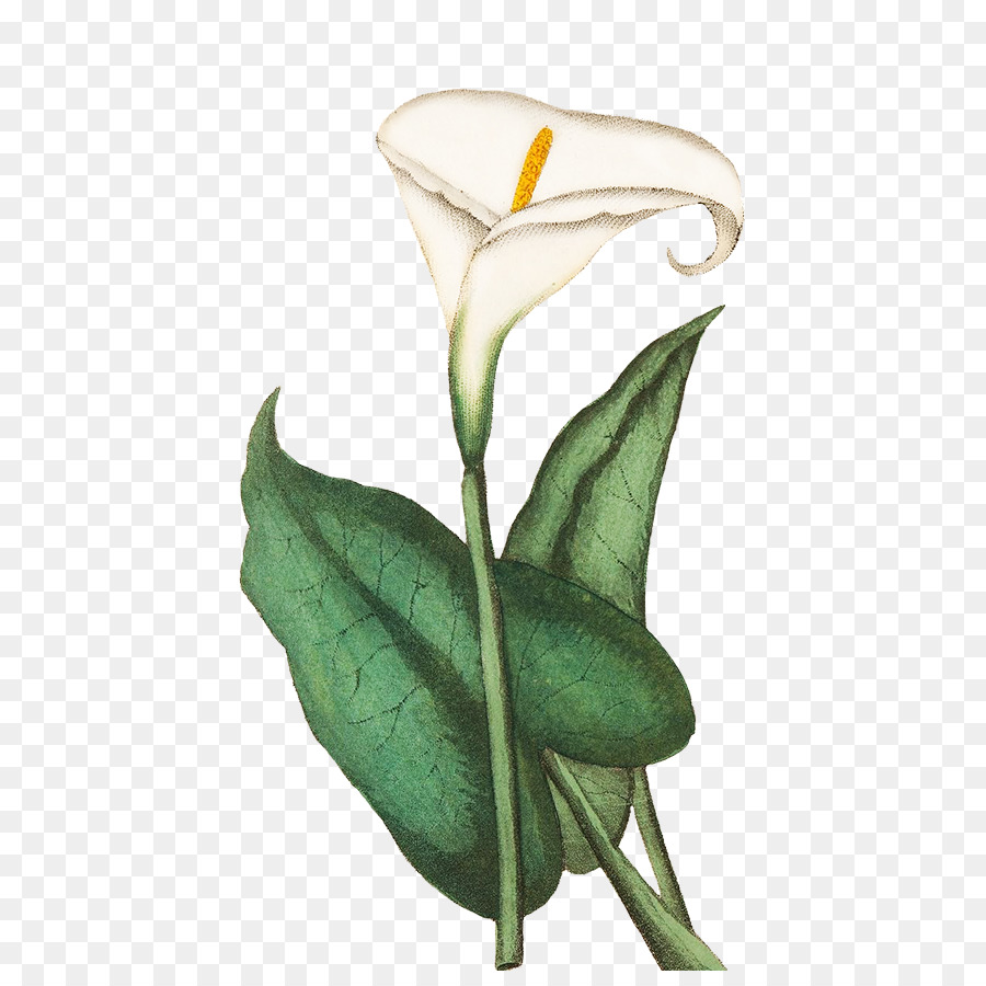 Greeting Note Cards Drawing Flower Sketch Callalily Png Download
