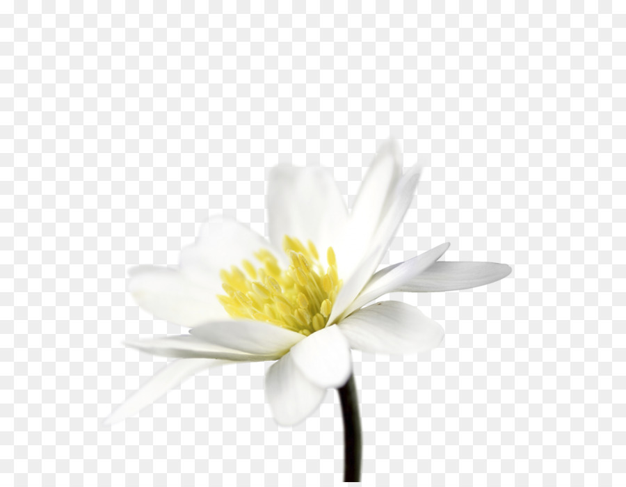 Cut flowers daisy family common daisy petal water lilies png cut flowers daisy family common daisy petal water lilies mightylinksfo