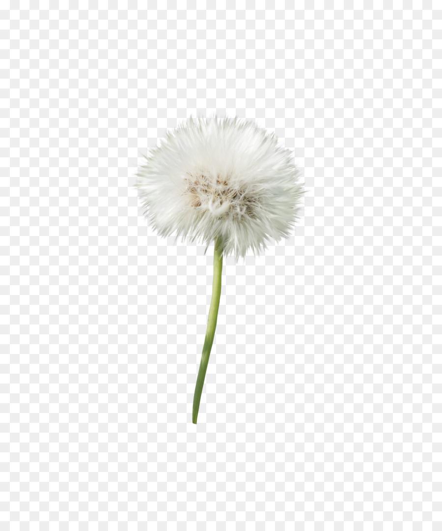 dandelion flower transvaal daisy petal plant - dandelion png