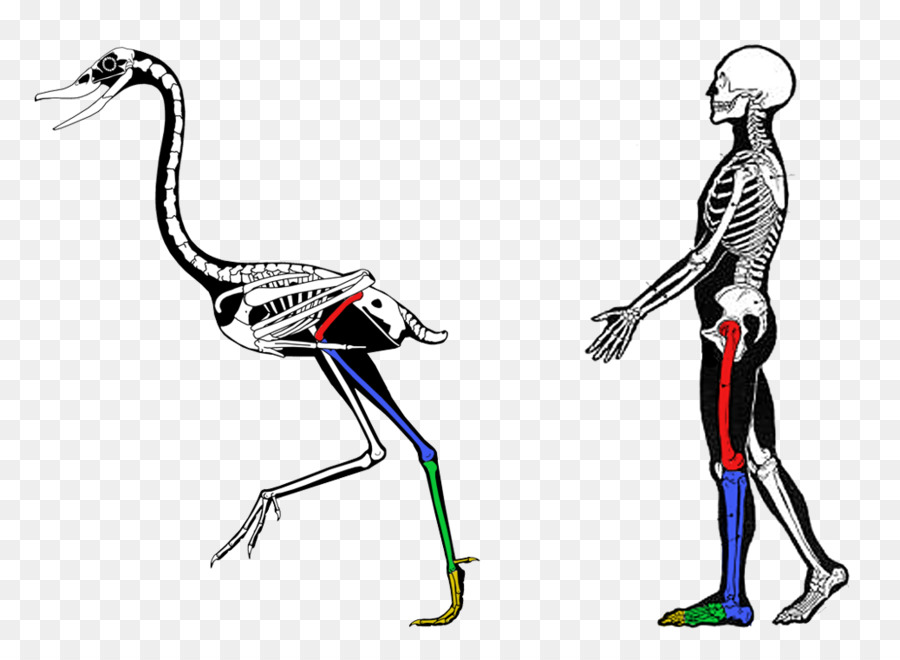 Comparative anatomy Vertebrate Biology Evidence of common descent ...