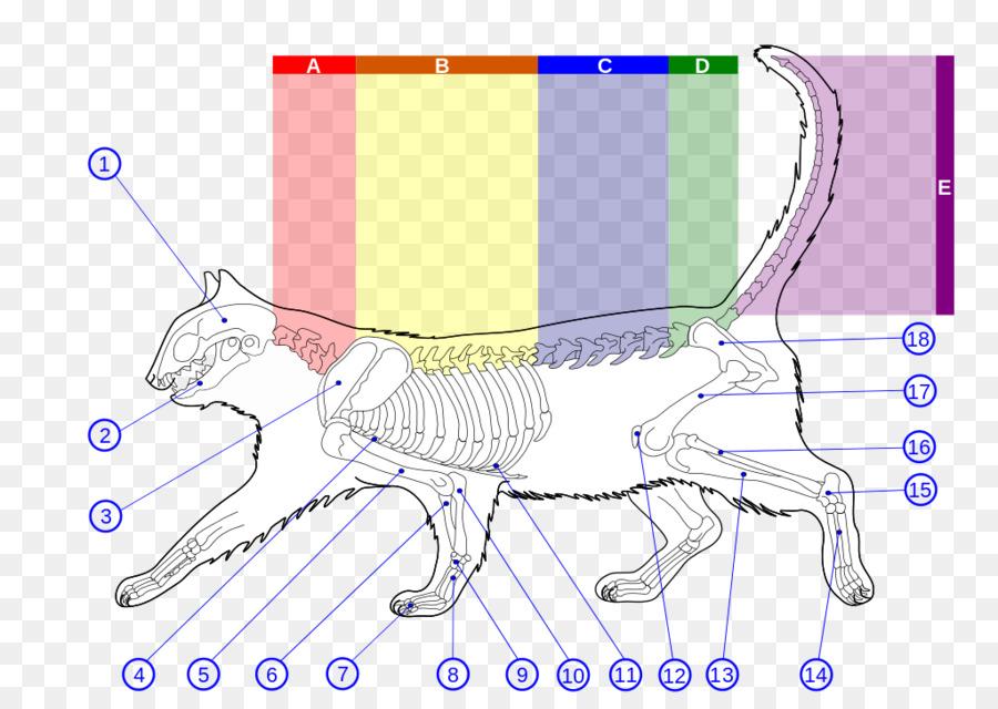 Wildcat Felidae Gato de la anatomía del esqueleto Humano - Esqueleto ...