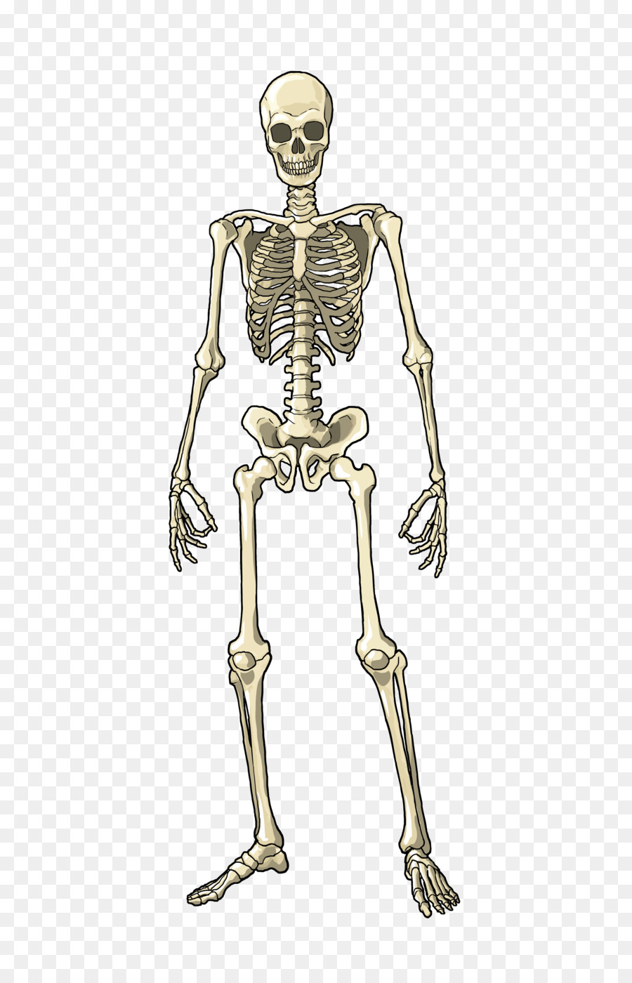 Human Body Muscle Bone Skeleton Homo Sapiens Bones Png Download