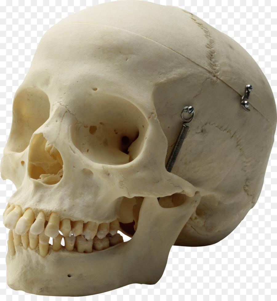 Human Skull Homo Sapiens Skeleton Head Calavera Png Download
