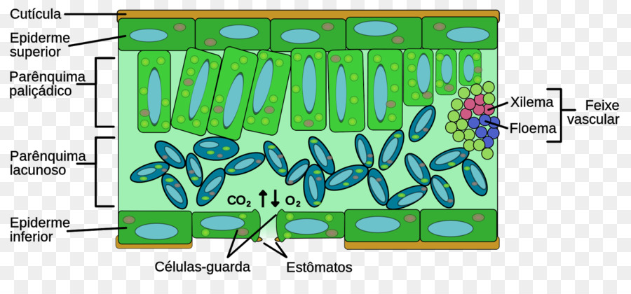 Leaf Plant Anatomy Structure Mesofil Folha Png Download 1600716