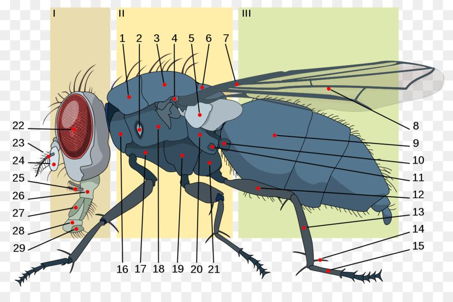 Housefly Insect Anatomy Brachycera Metathorax - anatomy png download ...