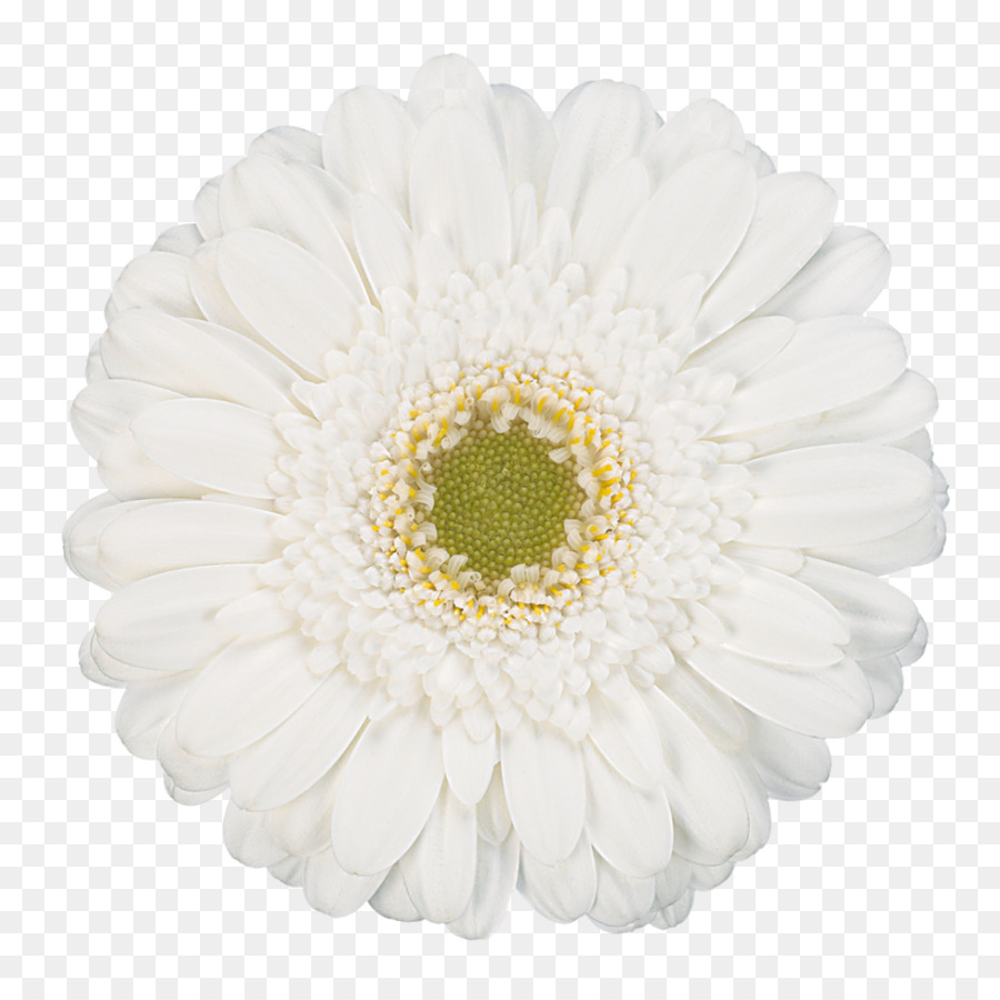 Transvaal daisy flower white photography gerbera png download transvaal daisy flower white photography gerbera mightylinksfo