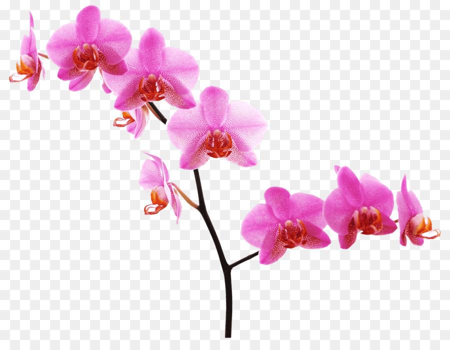 Orchids Pink flowers Desktop Wallpaper - fuchsia frame png download ...