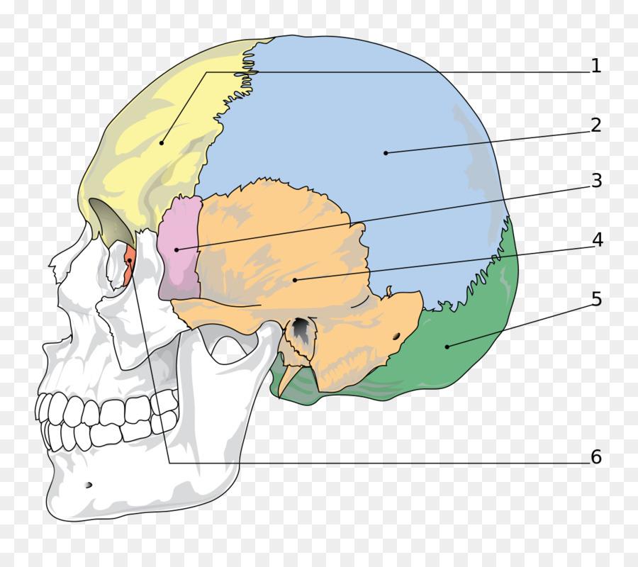 Skull Sphenoid bone Facial skeleton Parietal bone - bones png ...