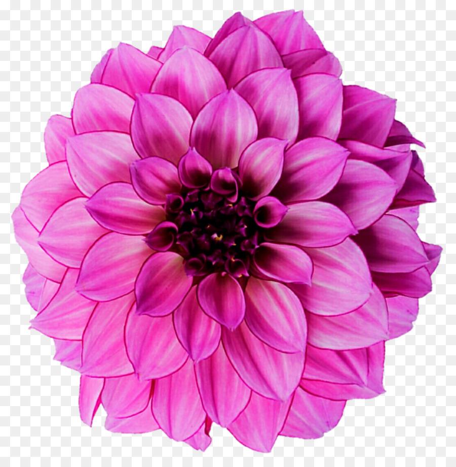 Dahlia flower royalty free photography pink light png download dahlia flower royalty free photography pink light izmirmasajfo