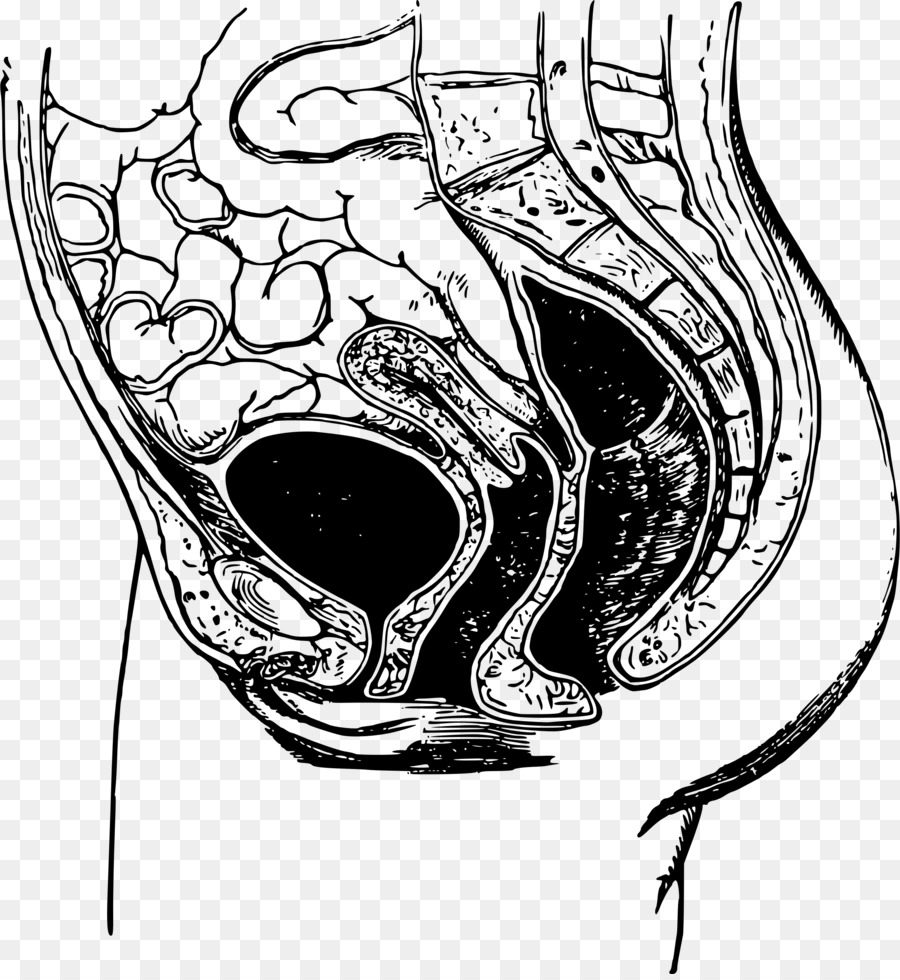 Anatomy Pelvis Bone Drawing Joint Anatomy Png Download 22182400