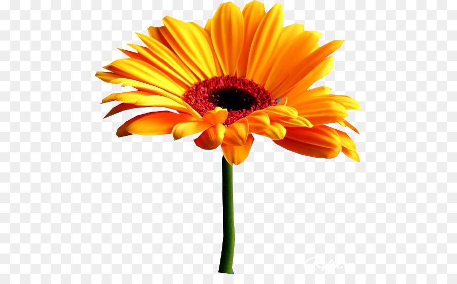 La Vida De La Flor De Observación De La Información Gerbera Png