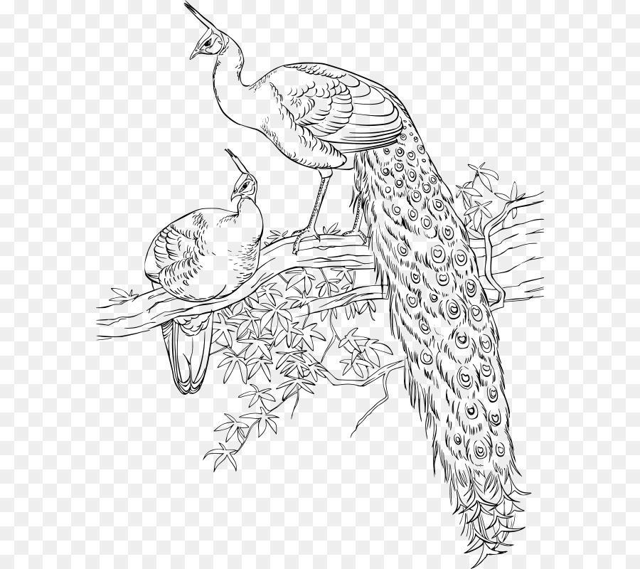 Asiatic Burung Merak Buku Mewarnai Gambar Burung Unduh Seni