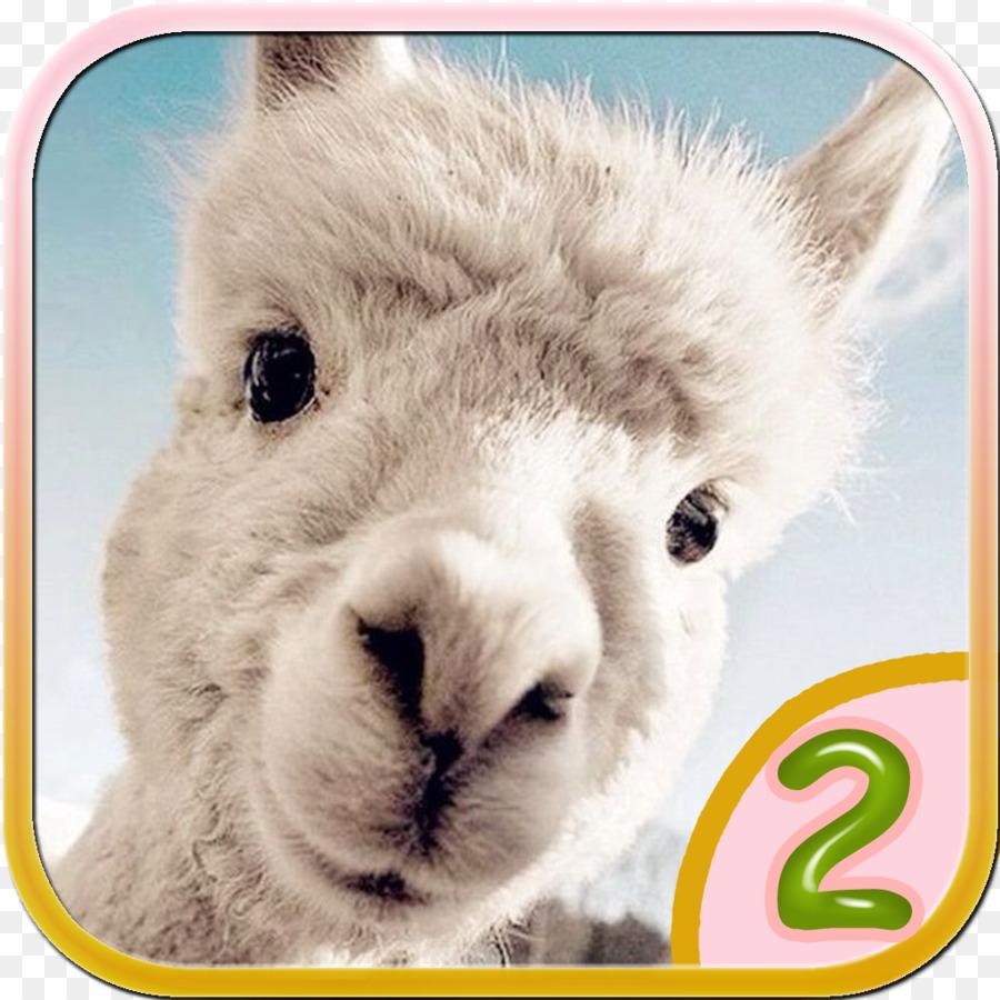 Desktop Wallpaper Alpaca IPhone Dog Cuteness