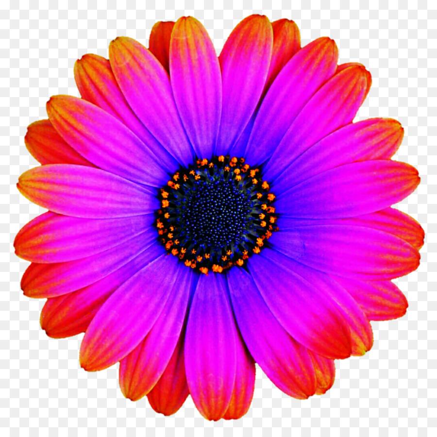 Transvaal Daisy Flower Menu Violet Purple Gerbera Png Download