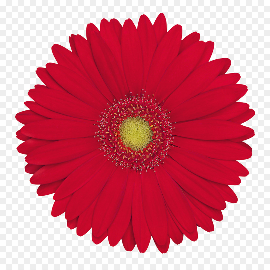 Tissue Paper Hand fan Color - gerbera png download - 1100*1100 ...