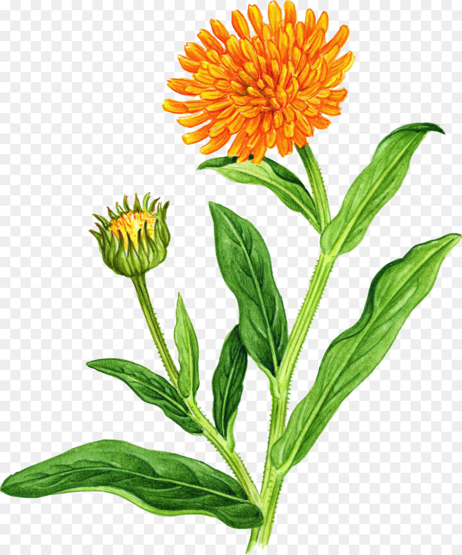 Marigold Wildflower Clip Art