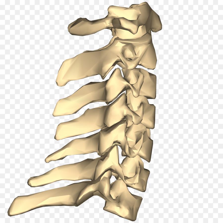 La vértebra Cervical del nervio Espinal de la columna Vertebral, las ...