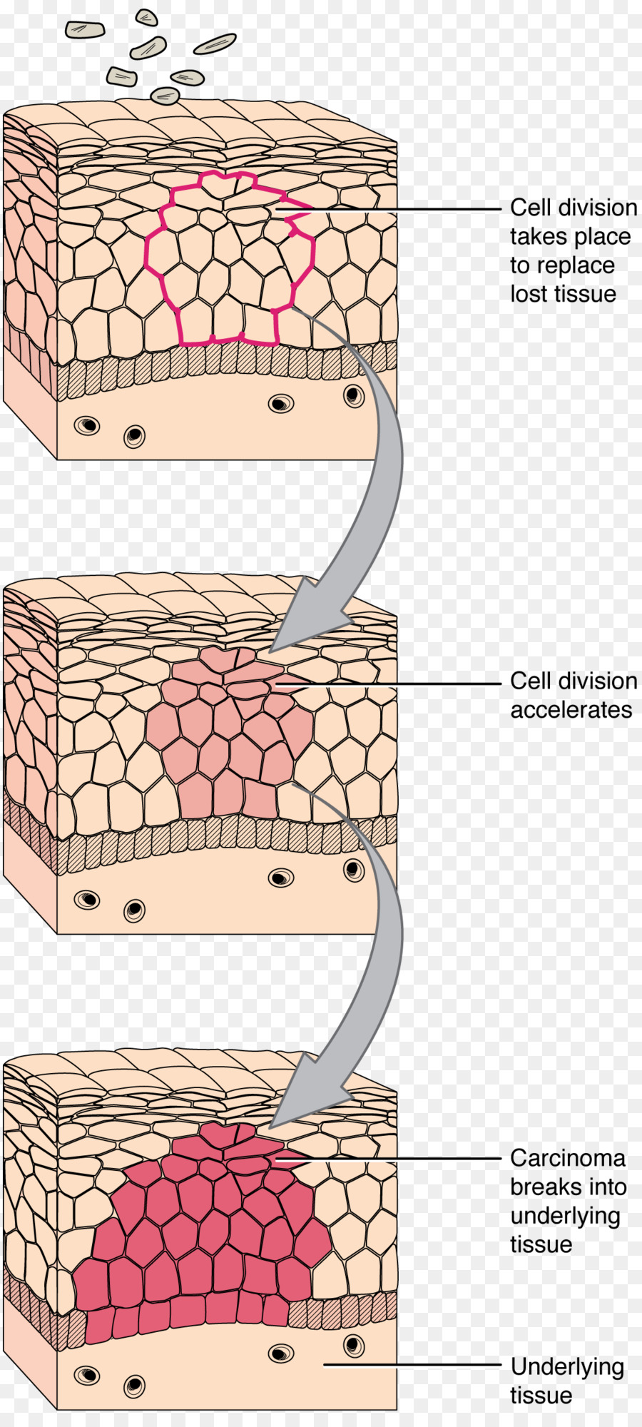 Transitional epithelium Connective tissue Cell - TISSUE png download ...