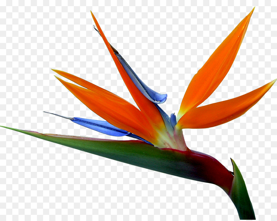 strelitzia reginae bird of paradise drawing flower bird flower png