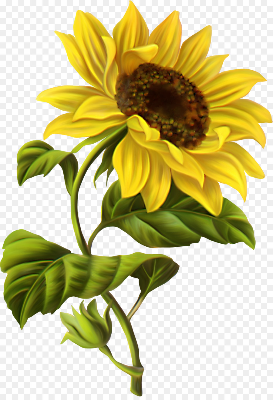 common sunflower drawing botanical illustration watercolor painting