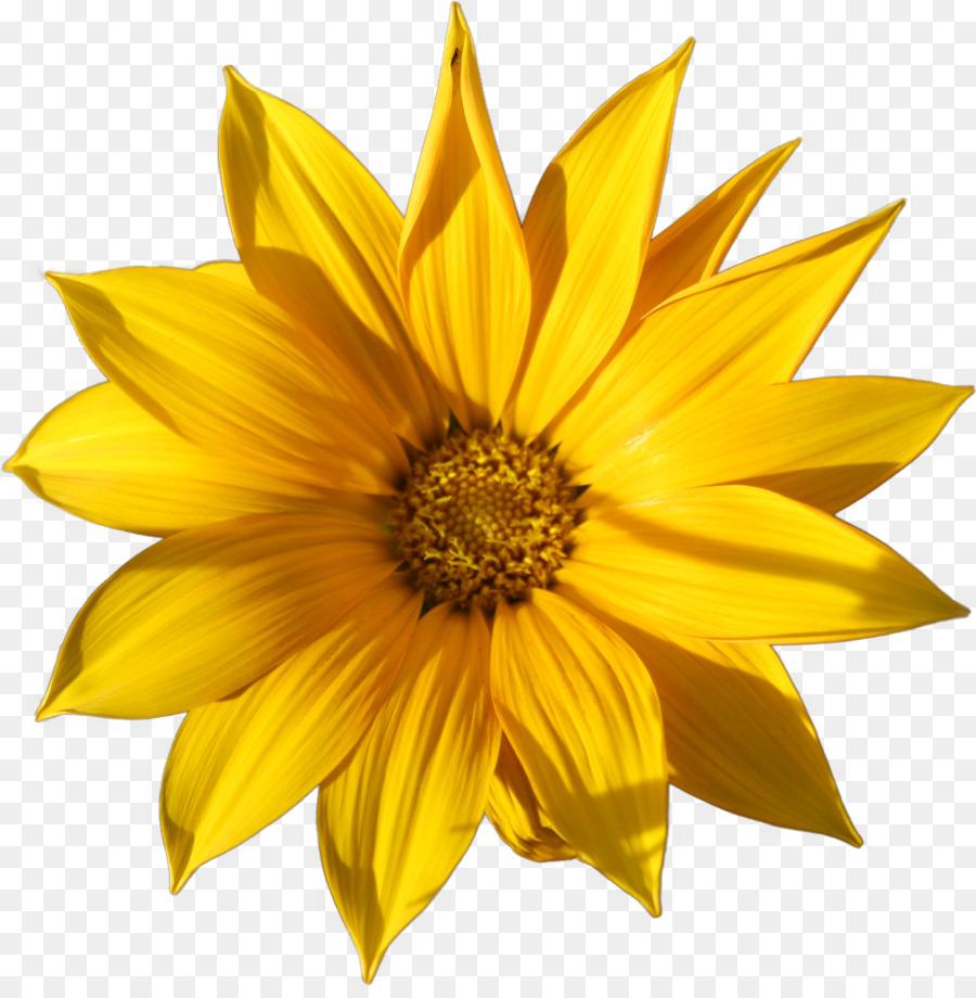 Common Sunflower Garage Flowers Common Daisy Petal Yellow Flower
