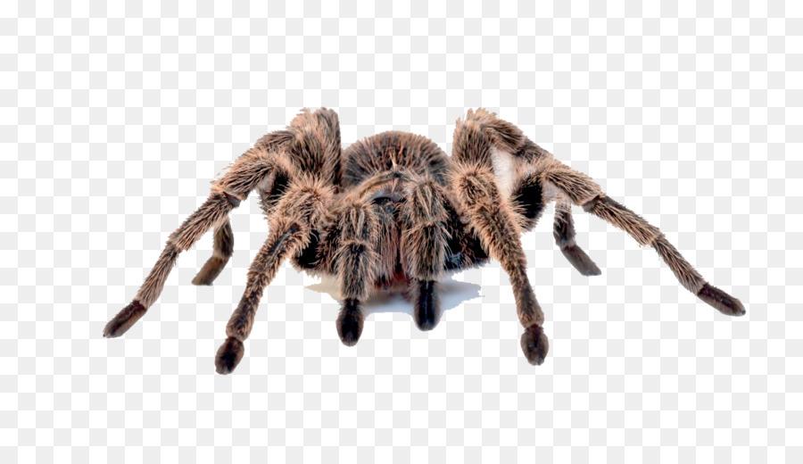 Araña Brasileña whiteknee tarántula Brasileño rojo y blanco de la ...
