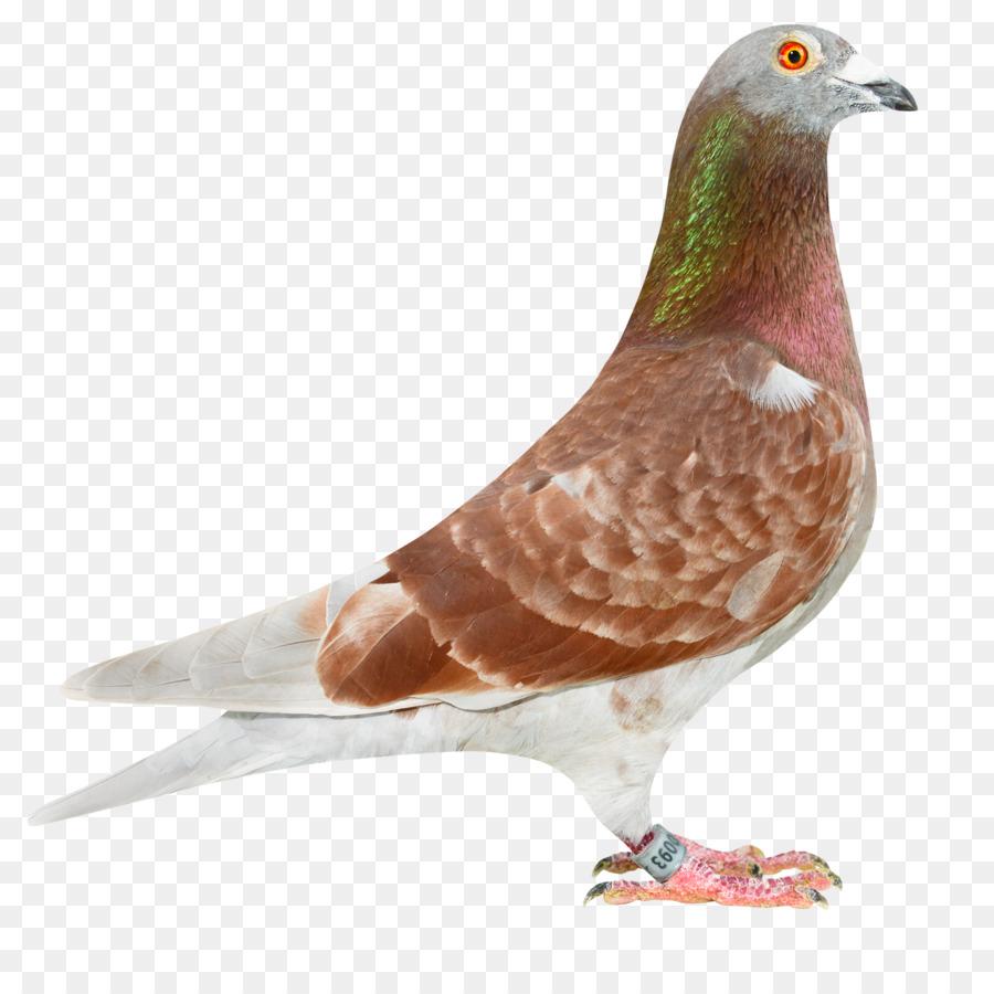 pigeon blood download