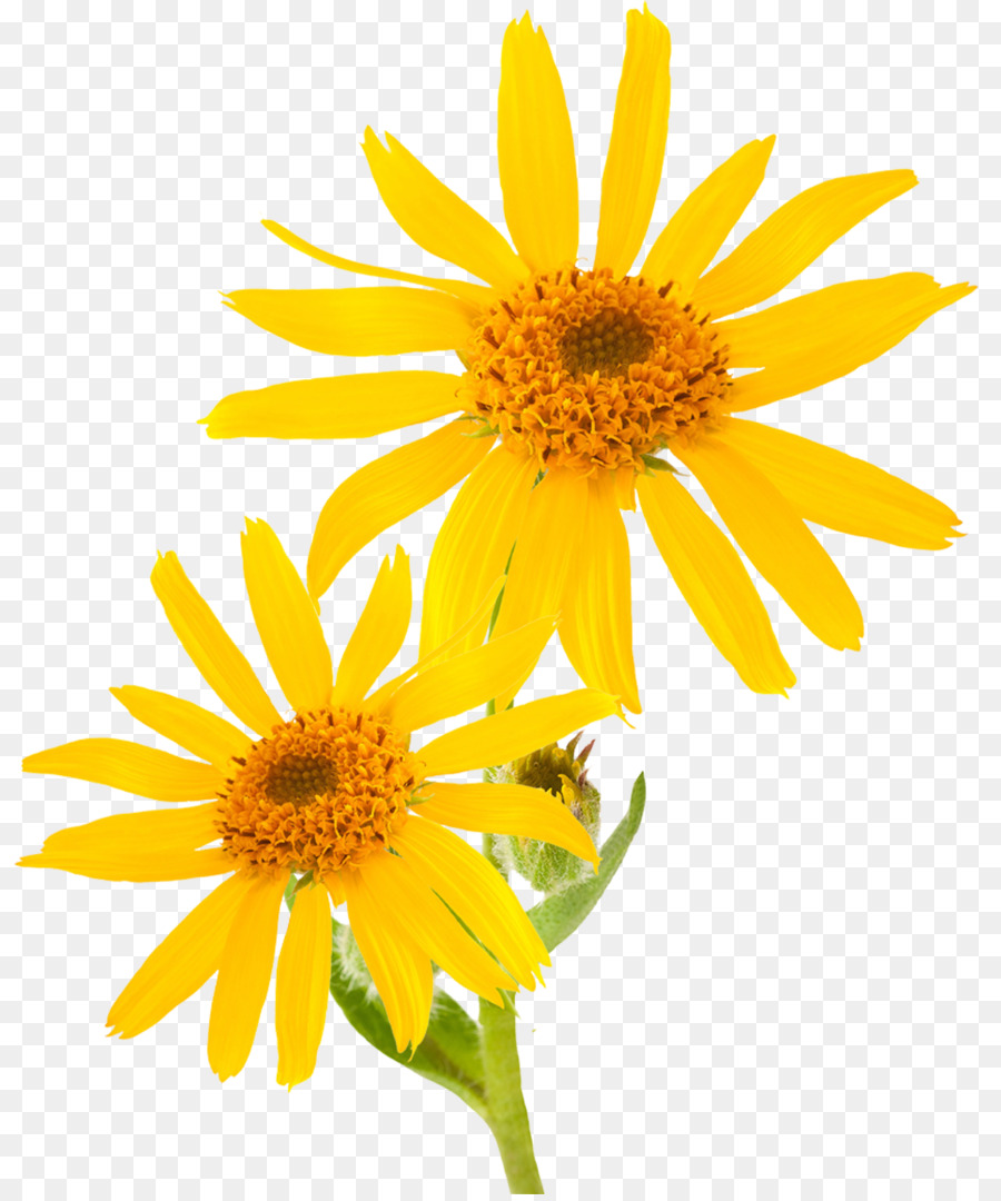 Mountain Arnica Essential Oil Cream Skin Care Therapy Piller Png