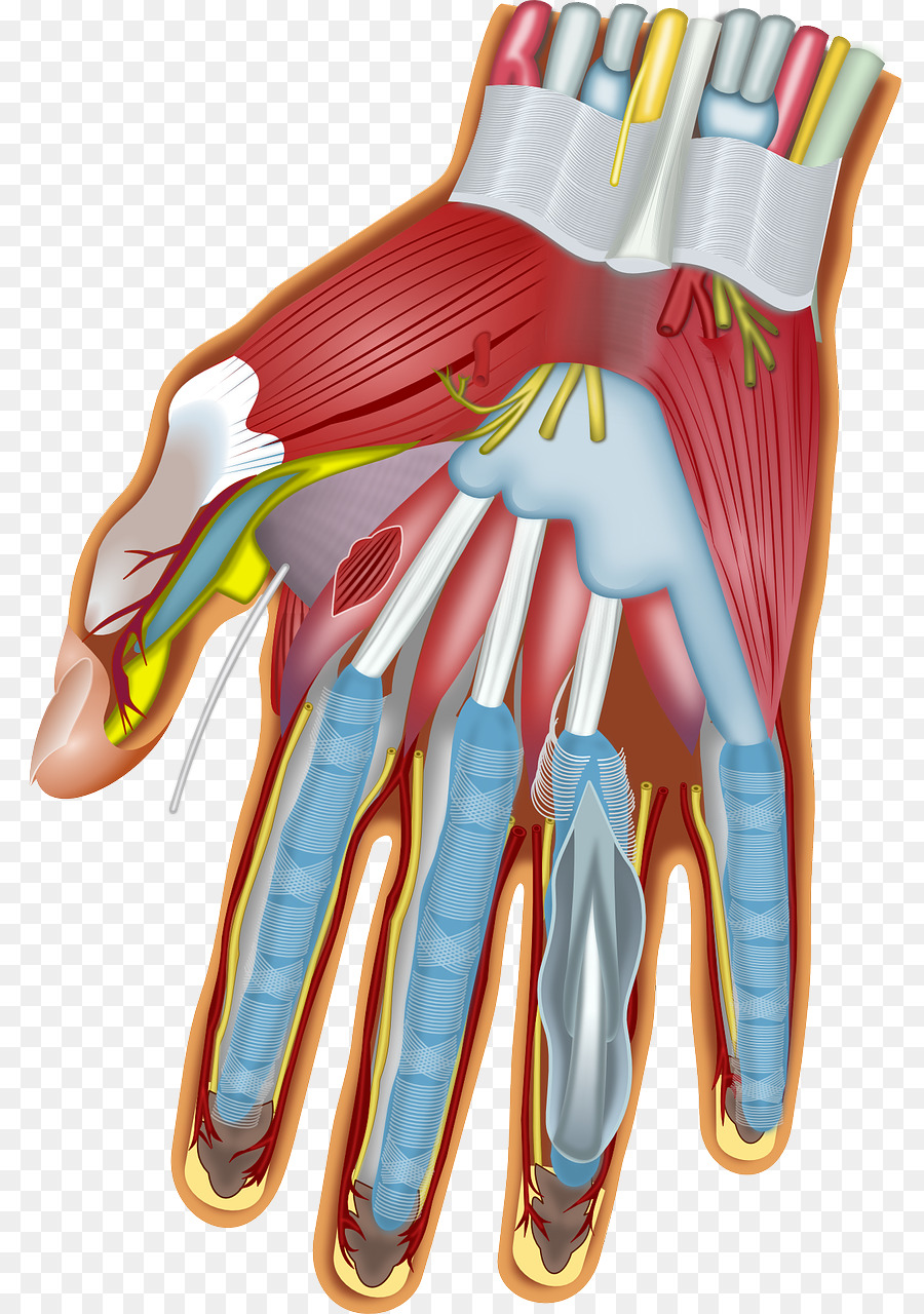 Muscles Of The Hand Wrist Anatomy Carpal Bones Muscles Png