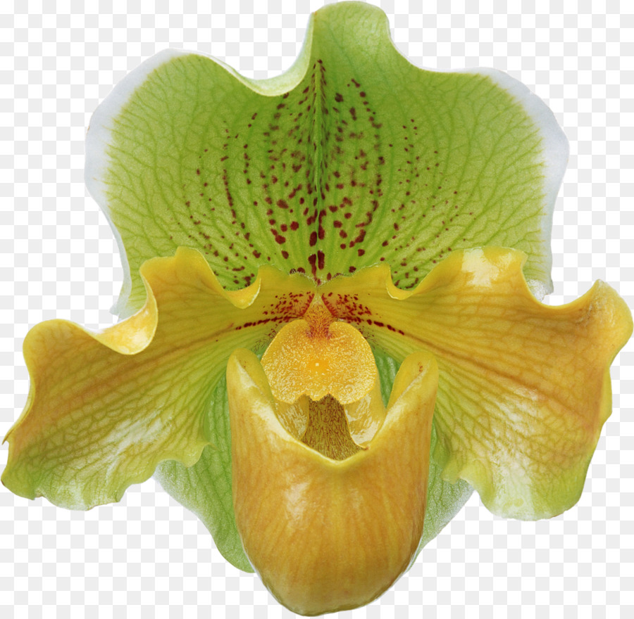Flower bouquet Moth orchids FIBERAM - orchid png download - 1600 ...