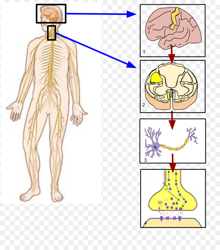 Sistema nervioso somático sistema nervioso Autónomo sistema nervioso ...