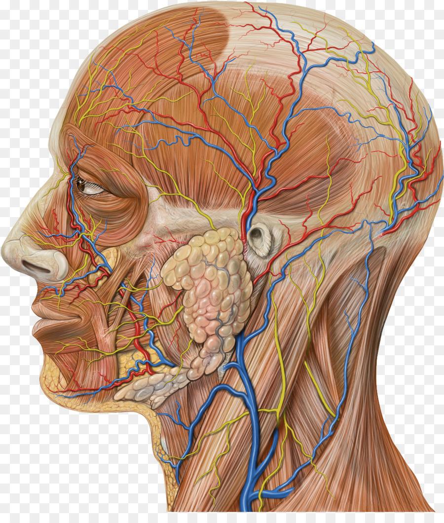 Maxilar de la arteria Maxilar venas Superficiales temporal de la ...